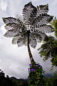 Tree fern,Malaysia