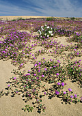 Algodones dunes,California