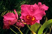 Moth orchid 'Irene Holgan'