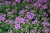 Ageratum mexicanum flowers