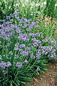 African lilies 'Headbourne Hybrids'