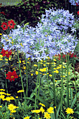 African blue lily (Agapanthus africanus)