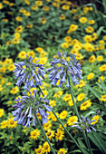 African blue lilies (Agapanthus dyeri)