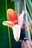 Banana flower (Musa sp.)