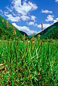 Distant sedge (Carex distans)
