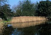 Common reeds (Phragmites australis)