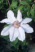 Clematis 'Ville de Lyon' flower