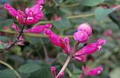 Sage (Salvia pulchella)