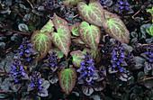 Barrenwort and bugle plants