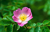 Rose 'Sweet Briar' flower