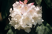 Rhododendron 'White Glory' x 'Georgetta'