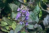 Carpet bugle flowers (Ajuga reptans)