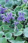 Sweet violet flowers