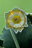 Show auricula 'Greenpeace' flower