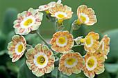 Show auricula 'Lord Saye en Sele' flowers