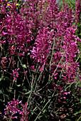 Agastache 'Heather Queen' flowers
