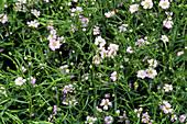 Gypsophila 'Gypsy' flowers