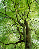View of a beech tree in the spring