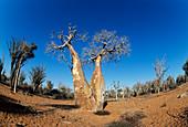 Boabab tree (Adansonia grandidieri)
