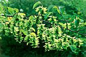 Common hornbeam (Carpinus betulis)