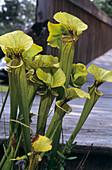 Pitcher plants (Sarracenia flava)
