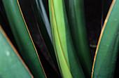 Agave leaves (Agave toneliana)