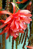 Cactus flowers (Aporophyllum 'Vivide')