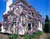 Wysteria covering a house