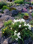 Flowers in a rockery