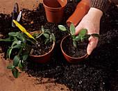 Easter cactus propagation