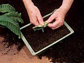 Streptocarpus propagation