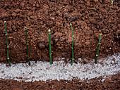 Leycesteria propagation