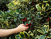 Pruning variegated holly