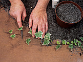 Ivy propagation
