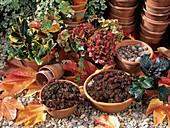Houseleek plants (Sempervivum sp.)