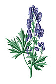Common monkshood