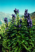 Monkshood flowers (Aconitum napellus)
