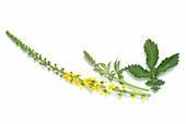 Common agrimony (Agrimonia eupatoria)