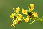 Rue flowers (Ruta graveolens)