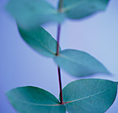 Eucalytpus leaves