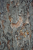 Horsechestnut tree trunk