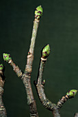 Sycamore branches (Acer pseudoplatanus)