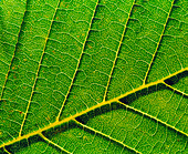 Veins in horse chestnut leaf