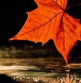 Autumn colour in maple leaf