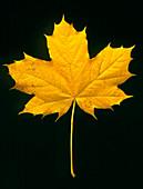 Autumn colour in a maple leaf