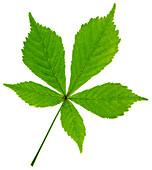 Horse chestnut leaf
