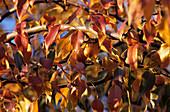 Pear tree leaves (Pyrus phaeocarpa)