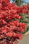 Japanese maple 'Osakazuki' foliage