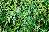 Japanese maple (Acer 'Viridis')