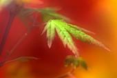 Japanese maple leaf (Acer palmatum)